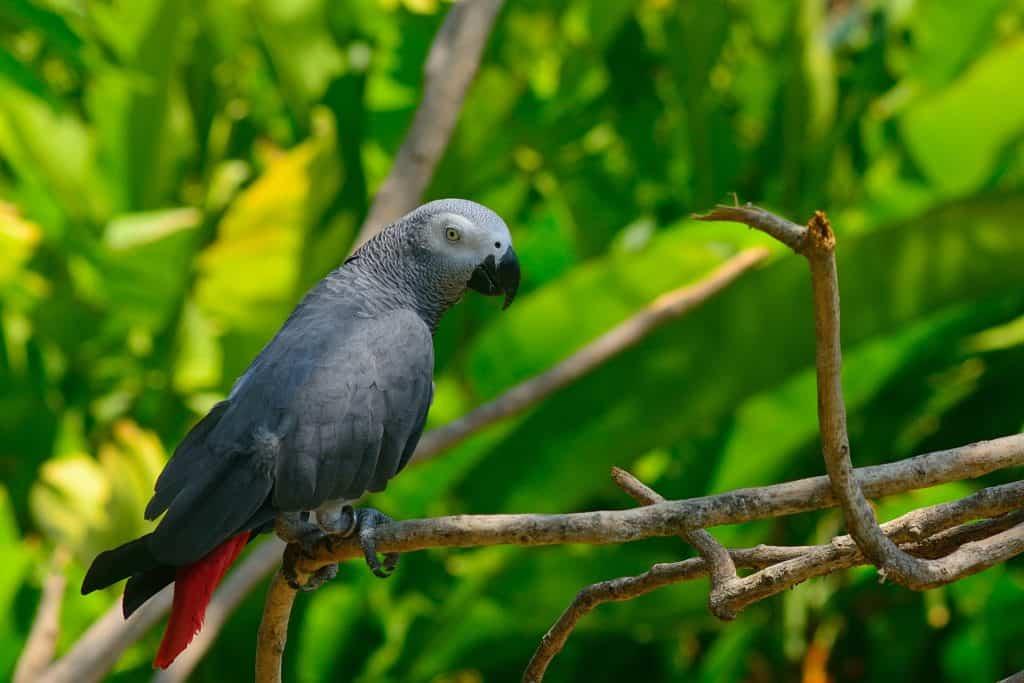 papuga zako
