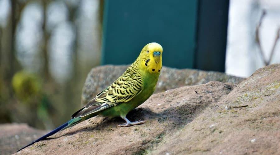 Jak wygląda papuga falista