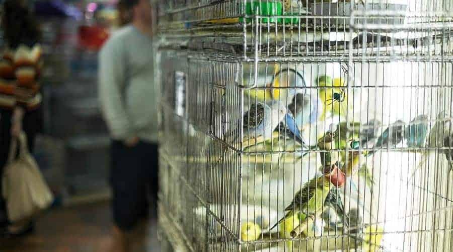 Ile żyją papugi faliste