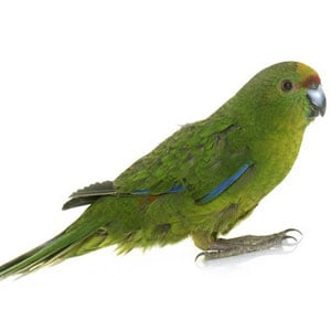 Papuga Amazonka