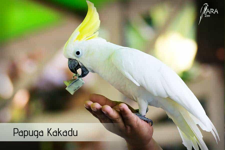 Papuga Kakadu ile kosztuje