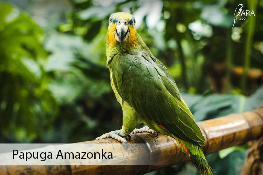 Papuga amazonka cena