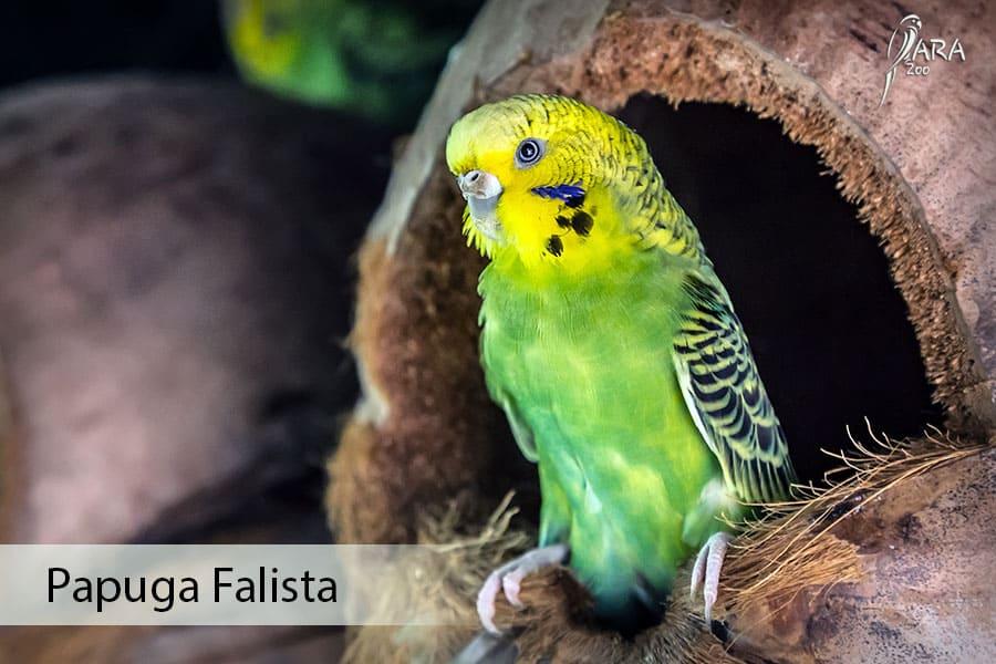Papuga falista cena