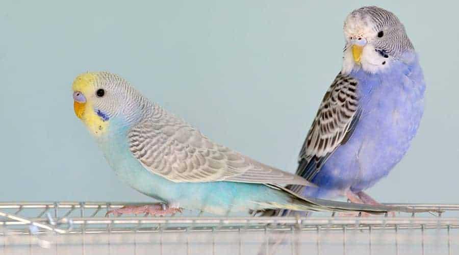 Papuga falista tęczowa i papuga falista fioletowa