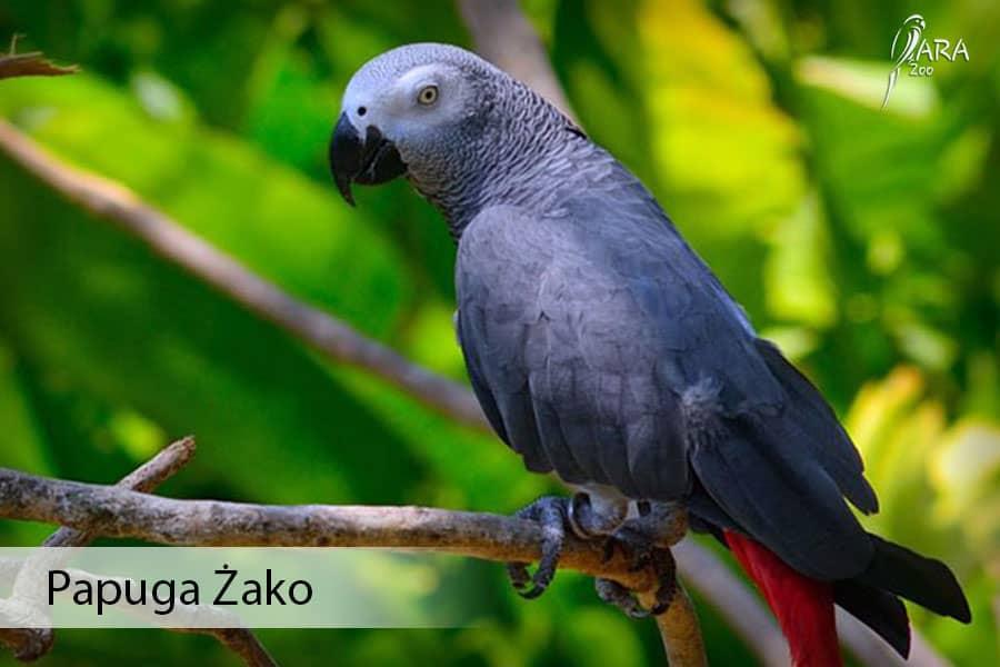Szara papuga Żako cena Sprawdź co je, ile żyje? Gadająca papuga domowa
