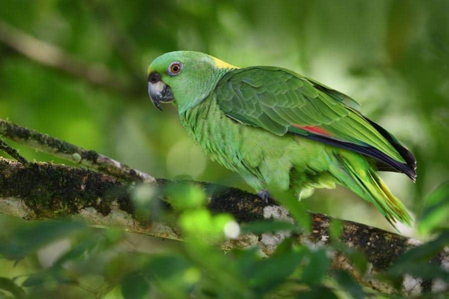 Informacje Ile kosztuje papuga amazonka