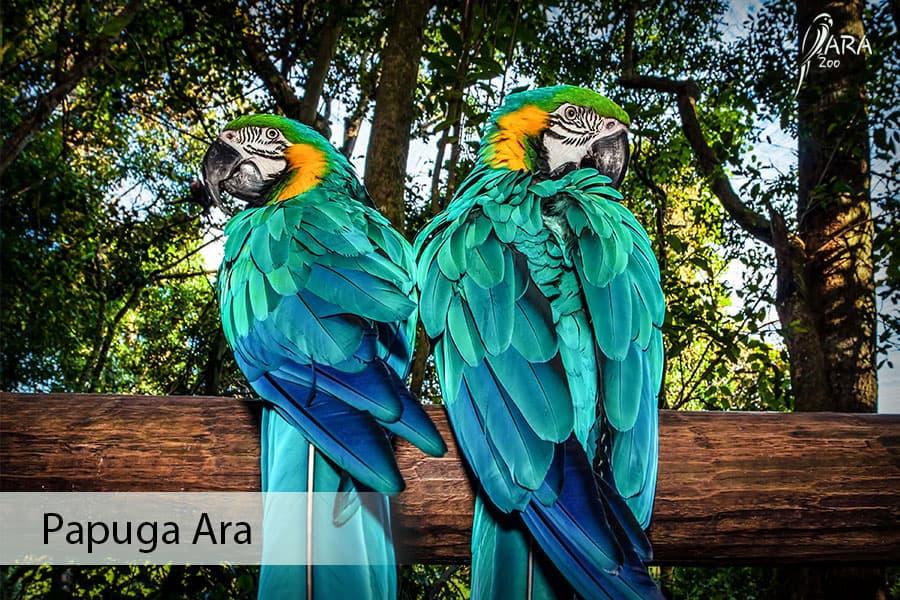 Papuga Ara cena Jak Wygląda? Co Je? Ile Kosztuje papuga ara?