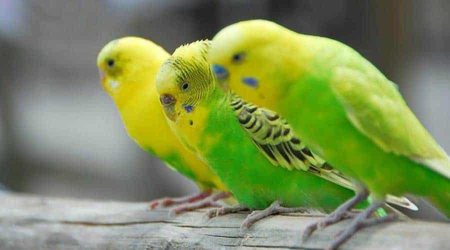 papuga falista żółta