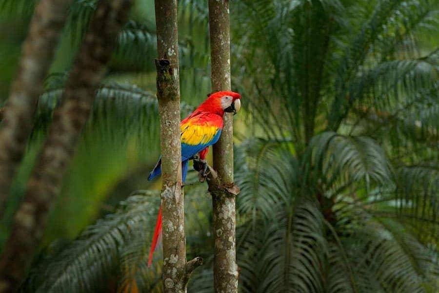 Papuga ARA ARARAUNA