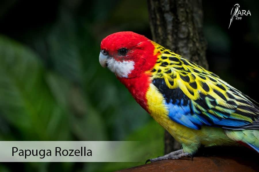 Papuga Rozella