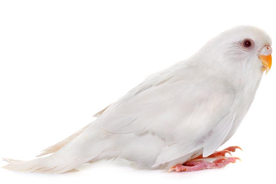 Papuga falista biała