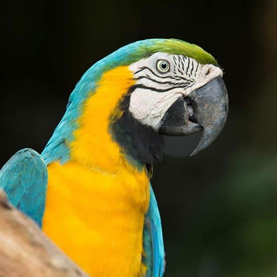Ara papuga