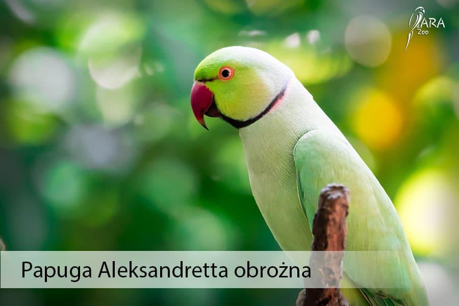 Papuga Aleksandretta obrożna
